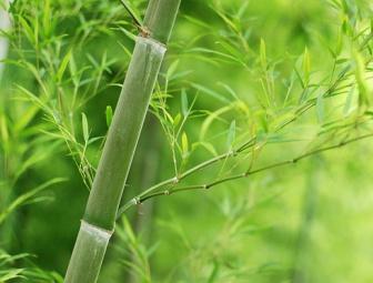Érdekességek a bambuszról
